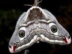 Emperor Moth (Saturnia pavonia)